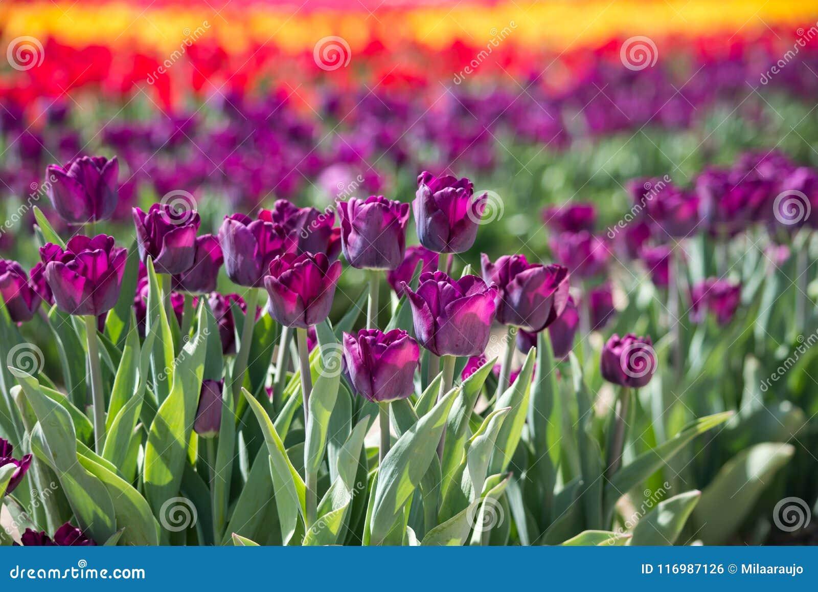 Beautiful field of tulips stock photo image of flowers 116987126 download beautiful field of tulips stock photo image of flowers 116987126 izmirmasajfo