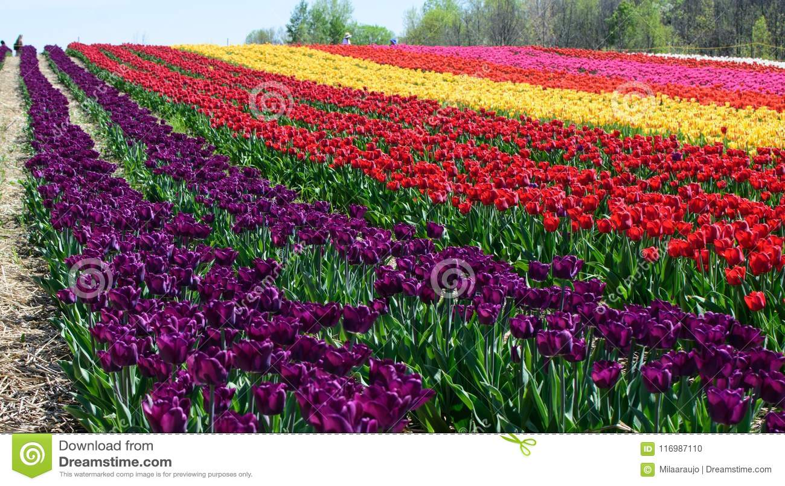 Beautiful field of tulips stock photo image of bright 116987110 beautiful field of tulips izmirmasajfo