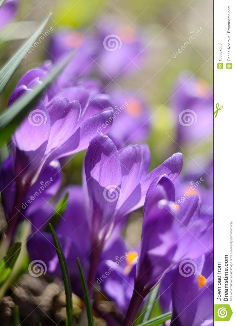 Beautiful first spring flowers crocuses bloom under bright sunlight download beautiful first spring flowers crocuses bloom under bright sunlight spring holidays backdrop stock photo mightylinksfo