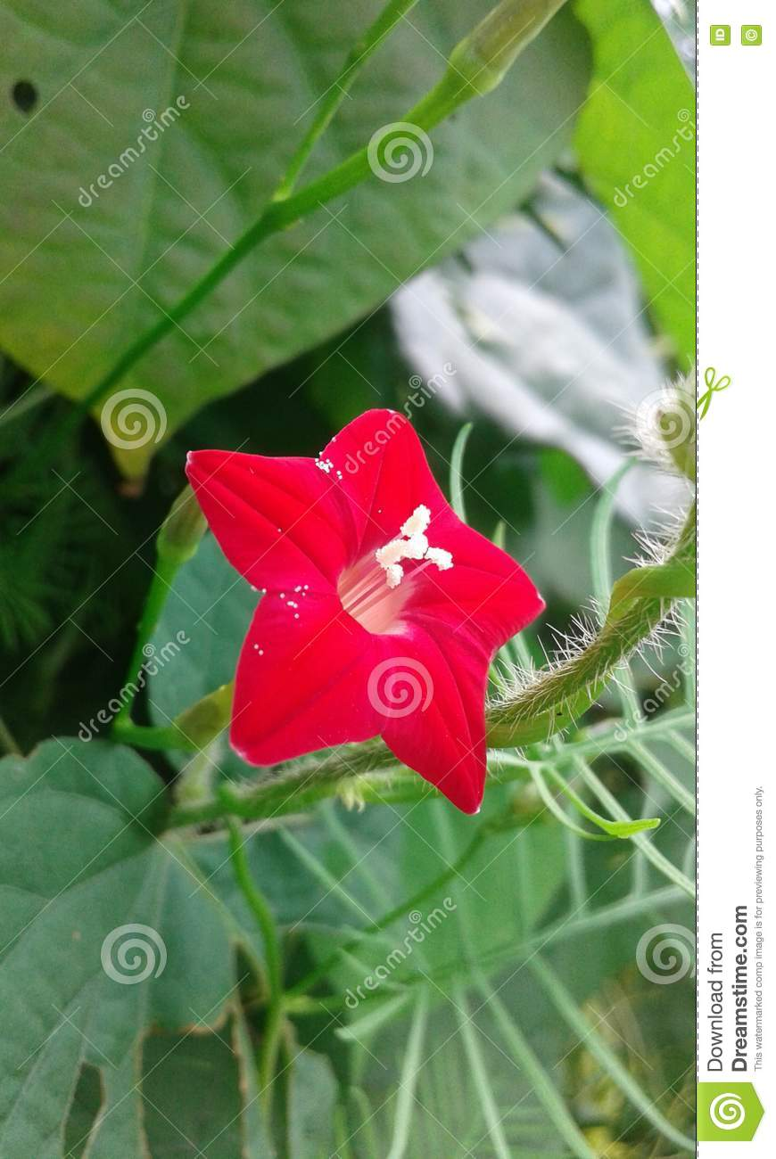 Beautiful Five Star Red Flower Stock Image Image Of Shadow Looks