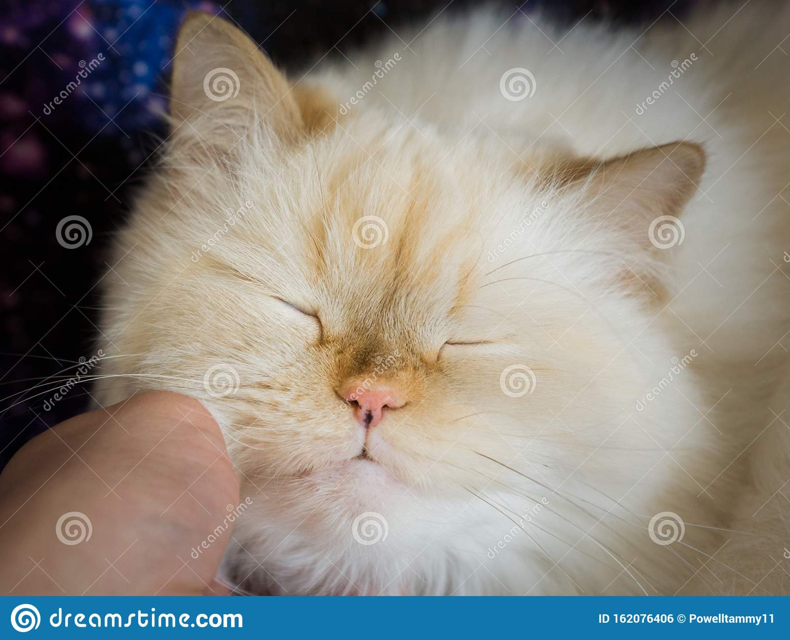 A Beautiful Himalayan Cat Cuddling With Her Owner Stock Photo Image Of Humananimal Human 162076406