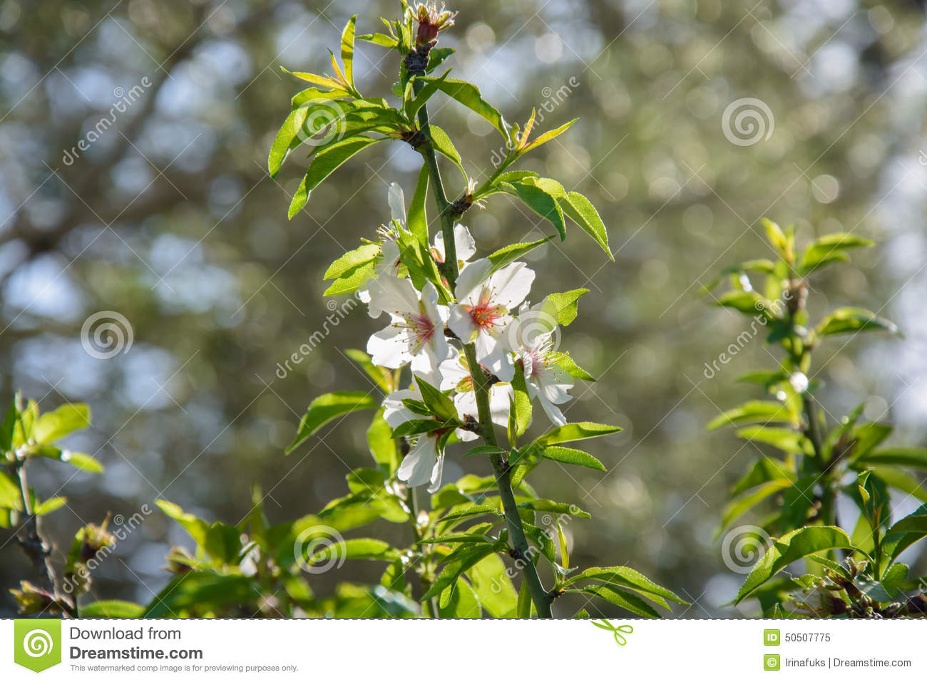 Beautiful Floral Background With Flowering Almond Tree Stock Image 5
