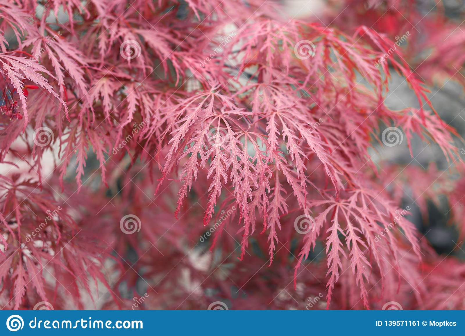 Beautiful Floral Background Of Pink Red Weeping Japanese Maple Or