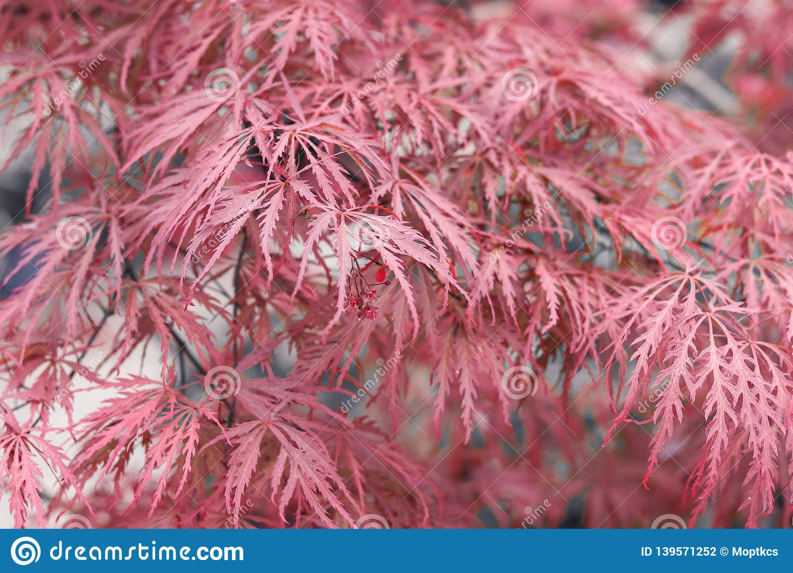Beautiful Floral Background Of Pink Red Weeping Laceleaf Japanese
