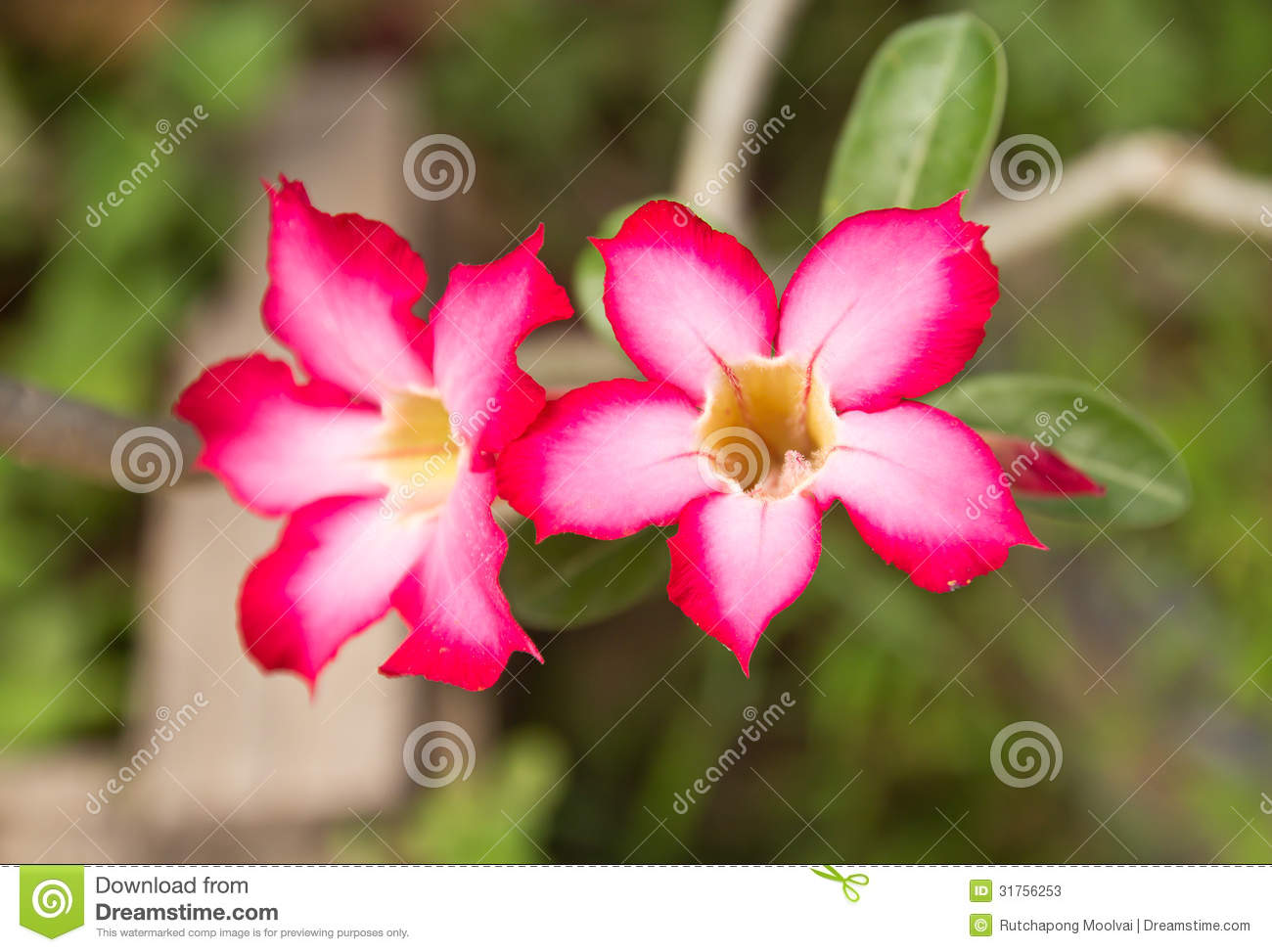Beautiful Floral Background Tropical Flower Pink Adenium Stock