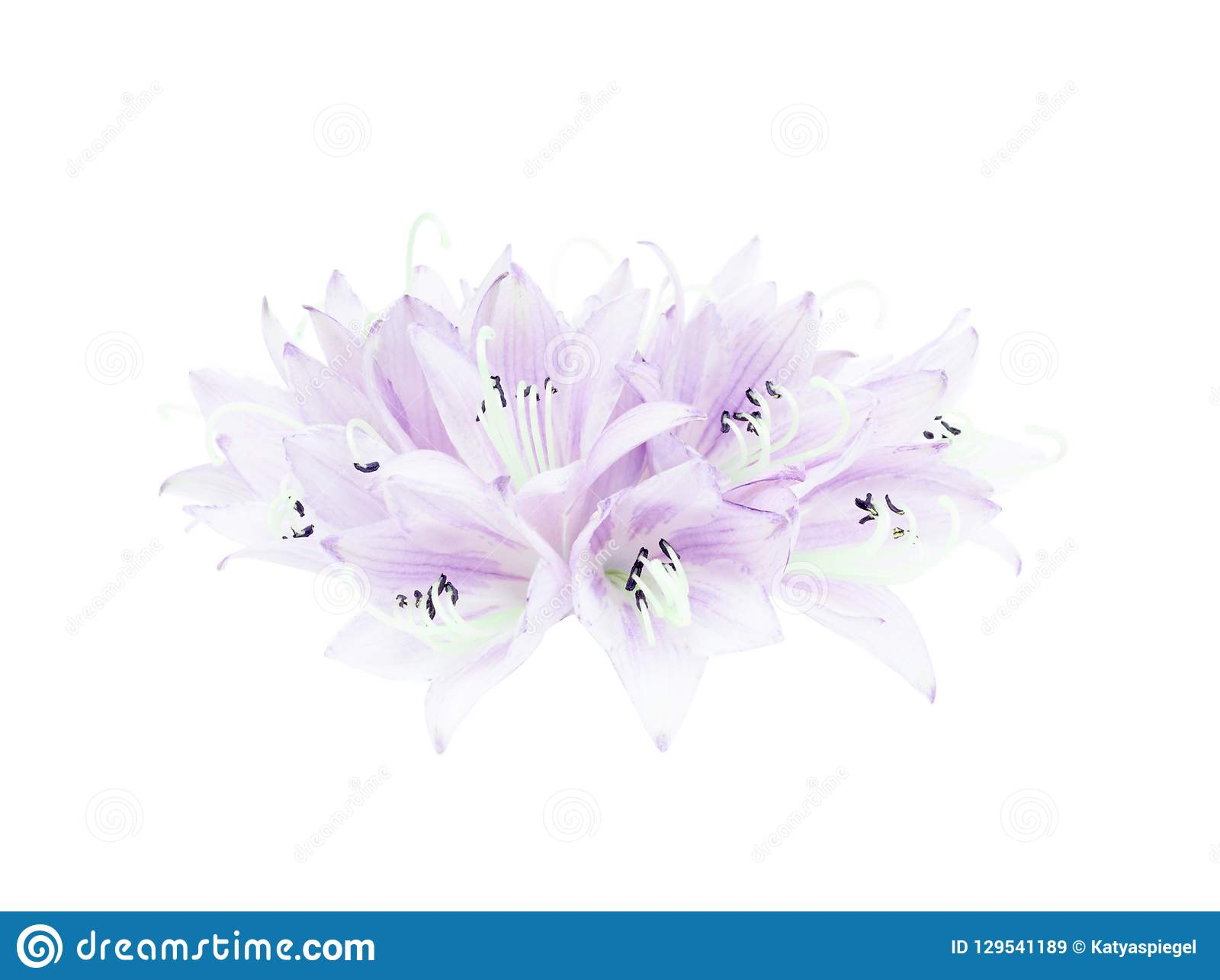 Beautiful floral bouquet from flowers of hosta or plantain lily isolated on white background.