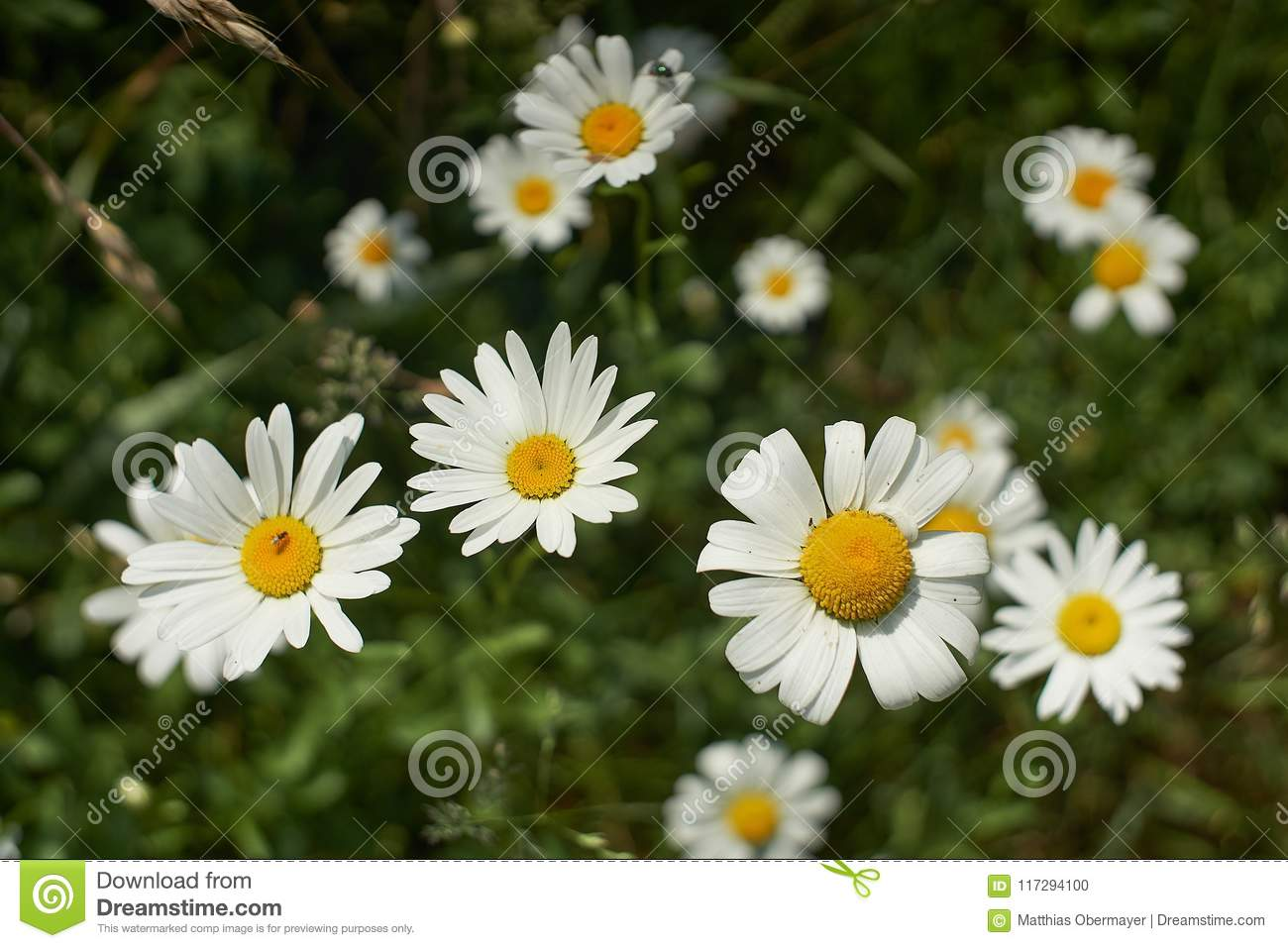 Beautiful floral nature background many fresh wild daisy flowers beautiful floral nature background many fresh wild daisy flowers growing in summer sunny meadow outside izmirmasajfo