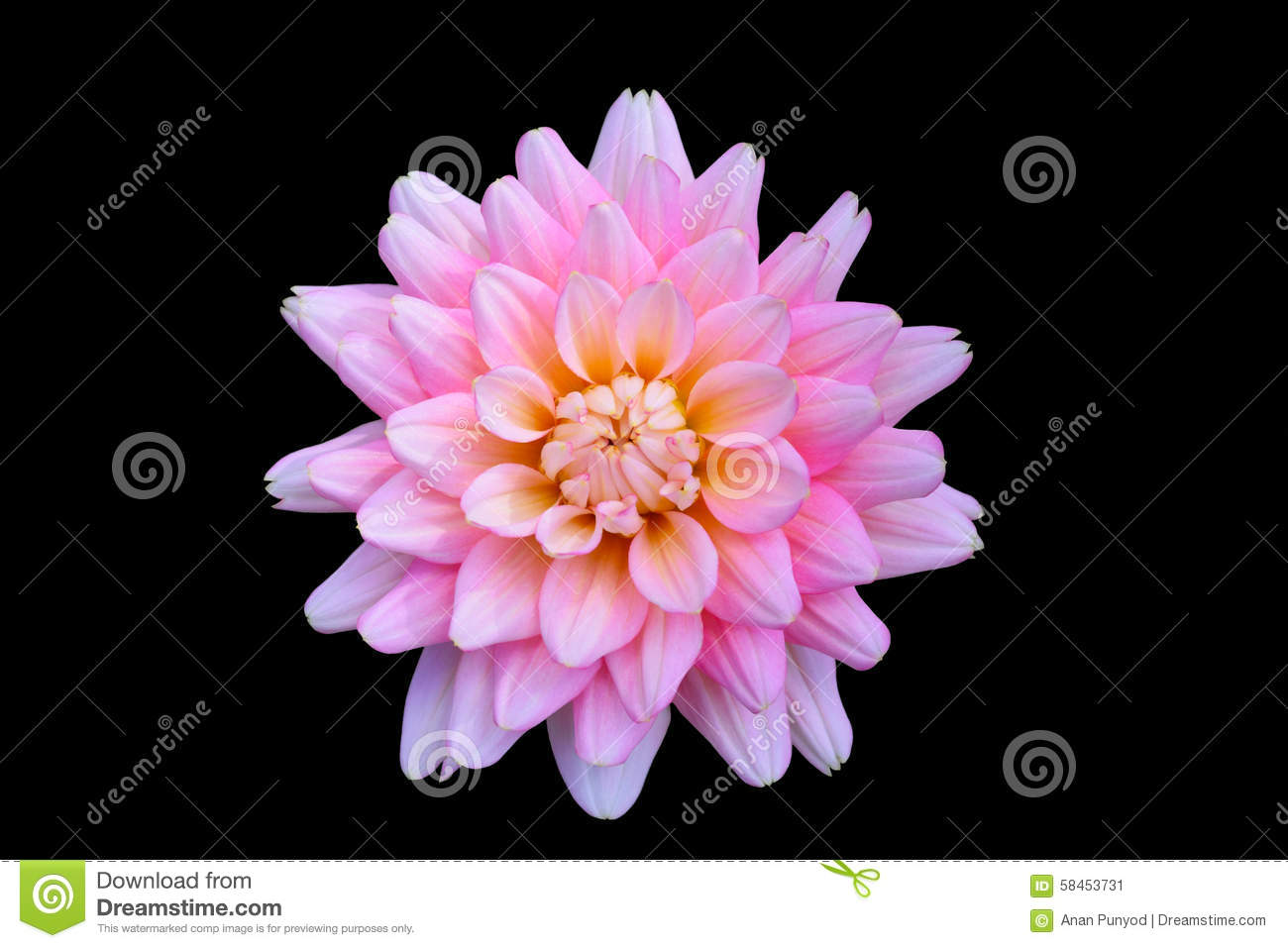 Beautiful floral pink dahlia flower on black background stock image beautiful floral pink dahlia flower on black background izmirmasajfo Gallery