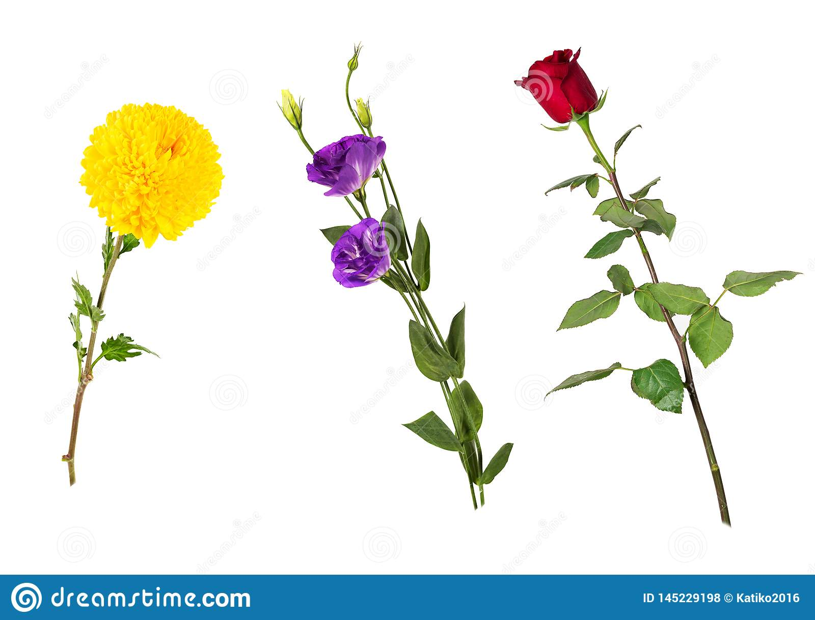 Beautiful floral set vivid red rose, bright yellow chrysanthemum, purple eustoma on stems with green leaves