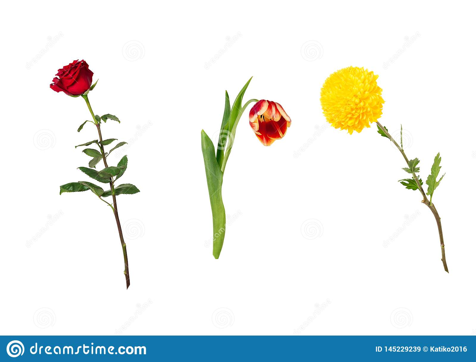 Beautiful floral set vivid red rose, bright yellow chrysanthemum, red and yellow tulip on stems with green leaves.