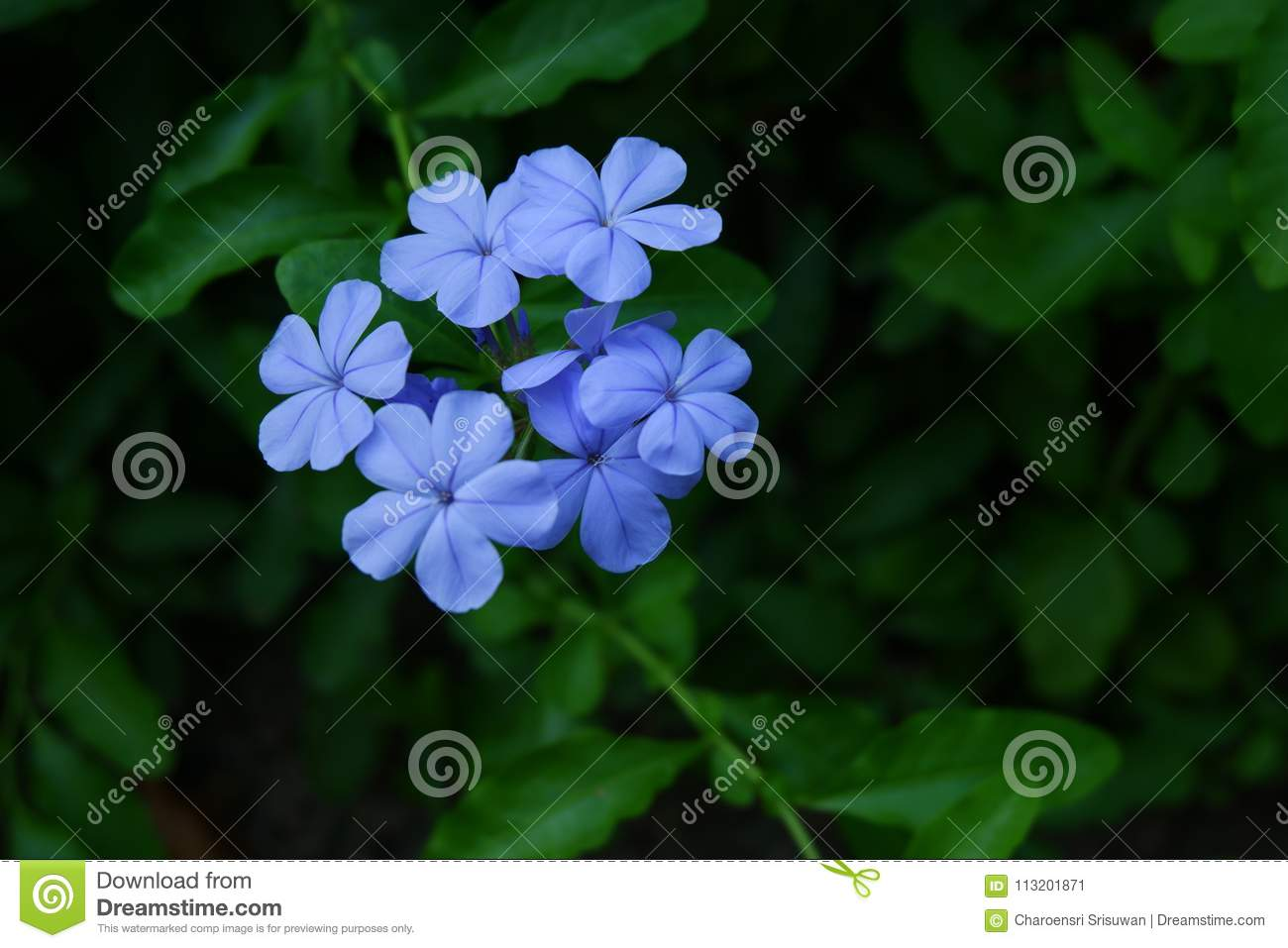 Blue West Indian Periwinkle Flower, Catharanthus Roseus