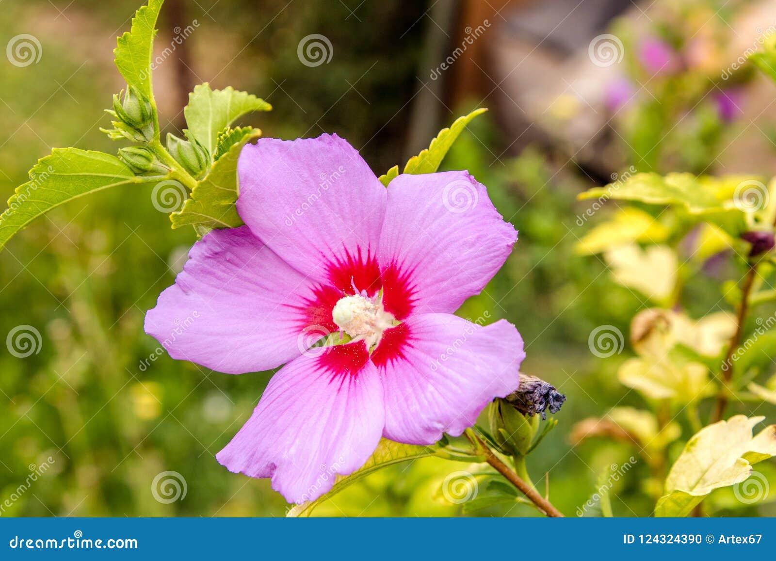 Beautiful Flower Chinese Hibiscus Purple Stock Photo Image Of
