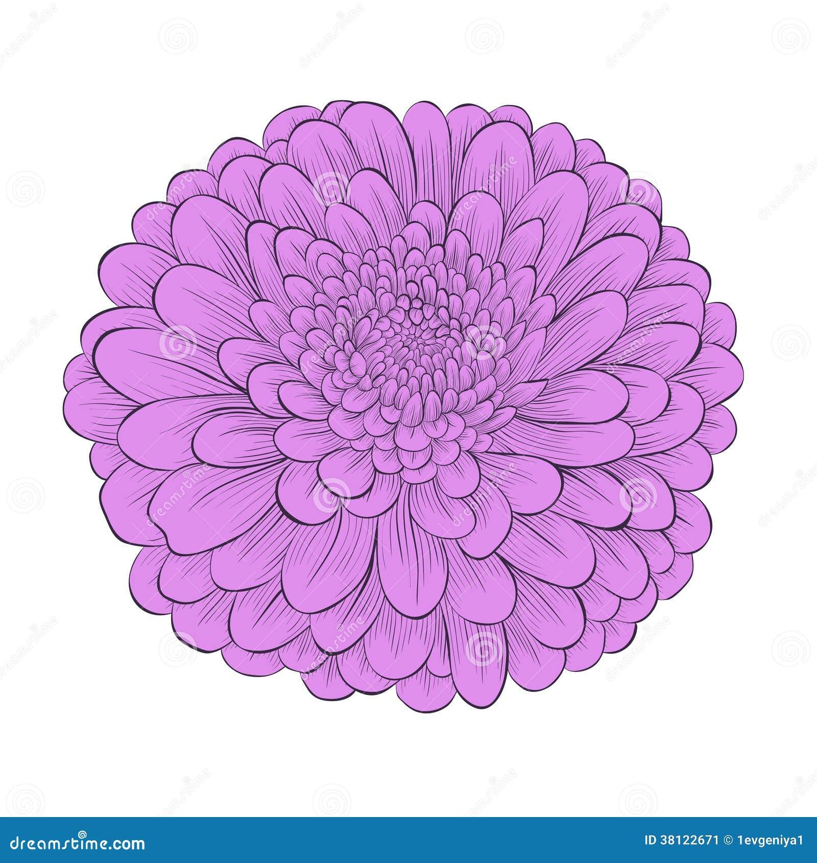 Beautiful Flower Chrysanthemum Isolated On White