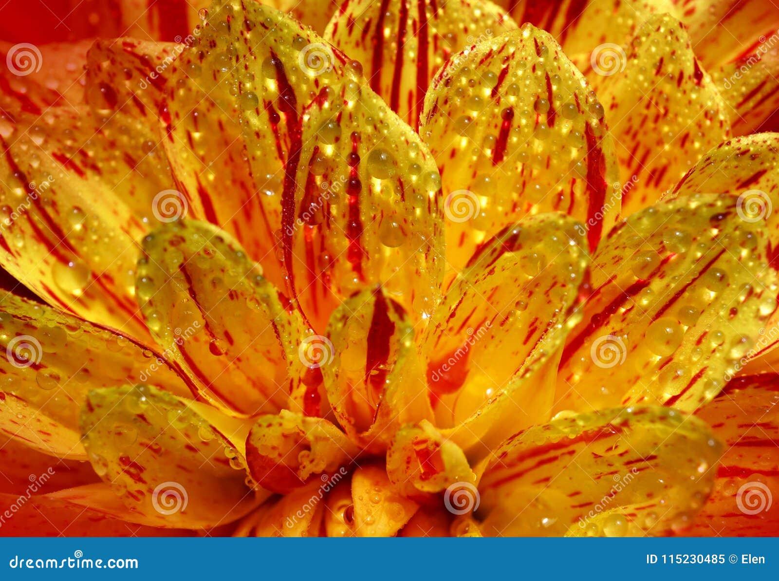 Beautiful Flower Dahlia Close Up Stock Image Image Of Glow Dahlia