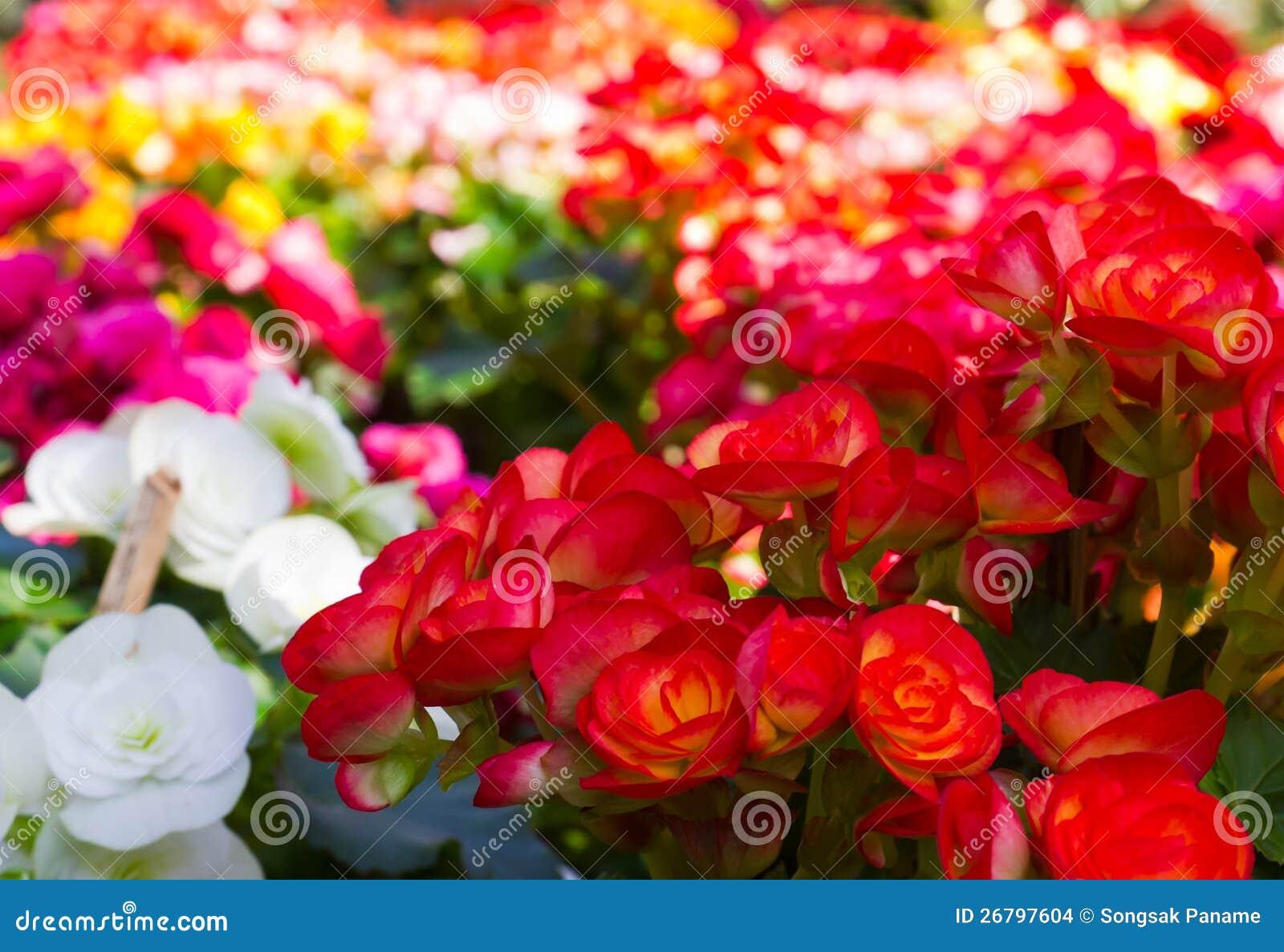 Beautiful Flower Garden Stock Photo Image Of Head Impatiens 26797604