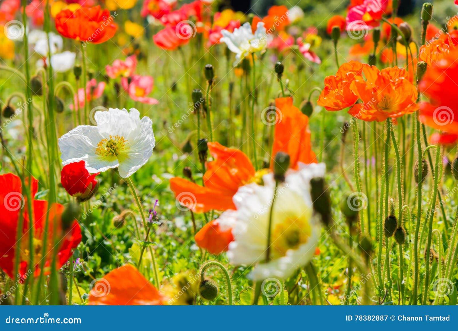 Beautiful Flower Garden Of A Iceland Poppy Flower Stock Image