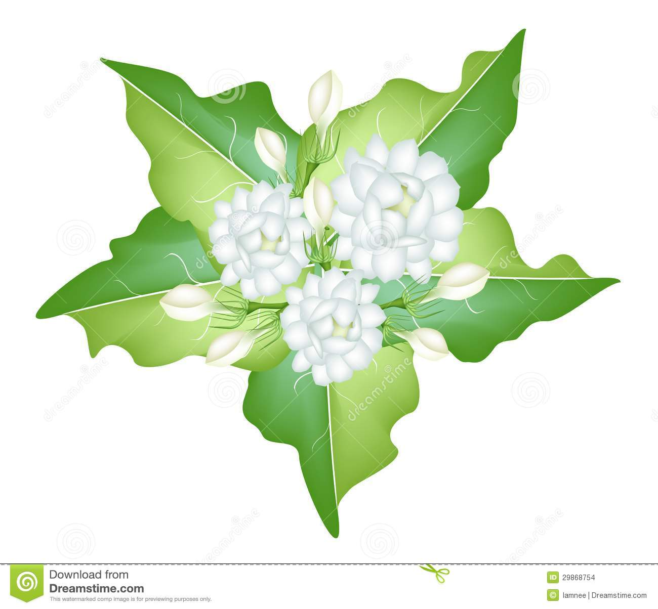 An Illustration Of Jasmine Flowers On White Backgr Stock