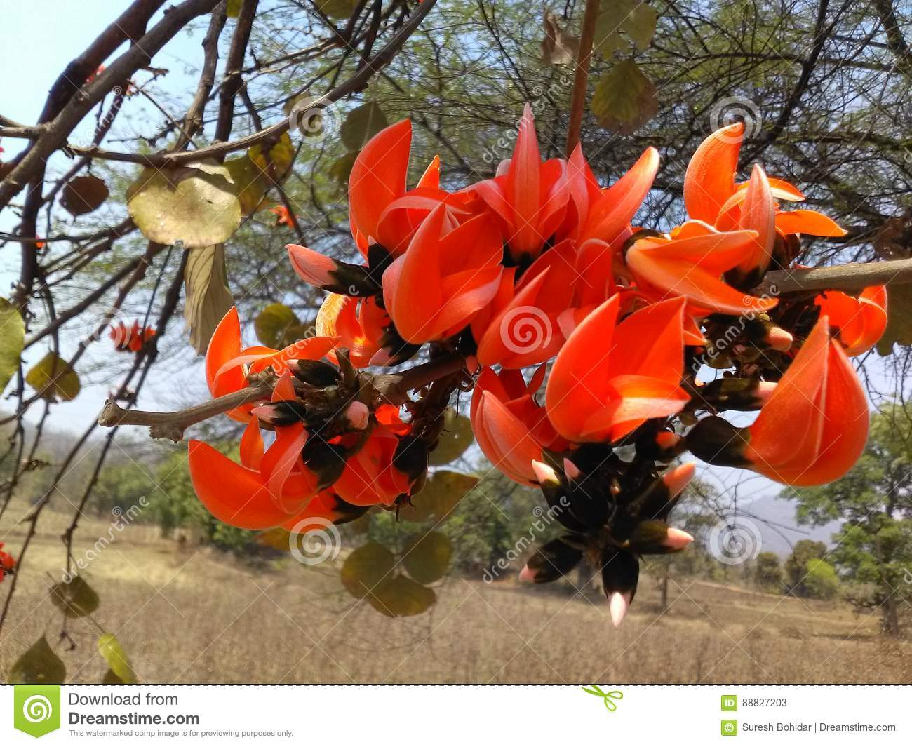 Beautiful flower of india stock image image of tree 88827203 beautiful flower of india izmirmasajfo