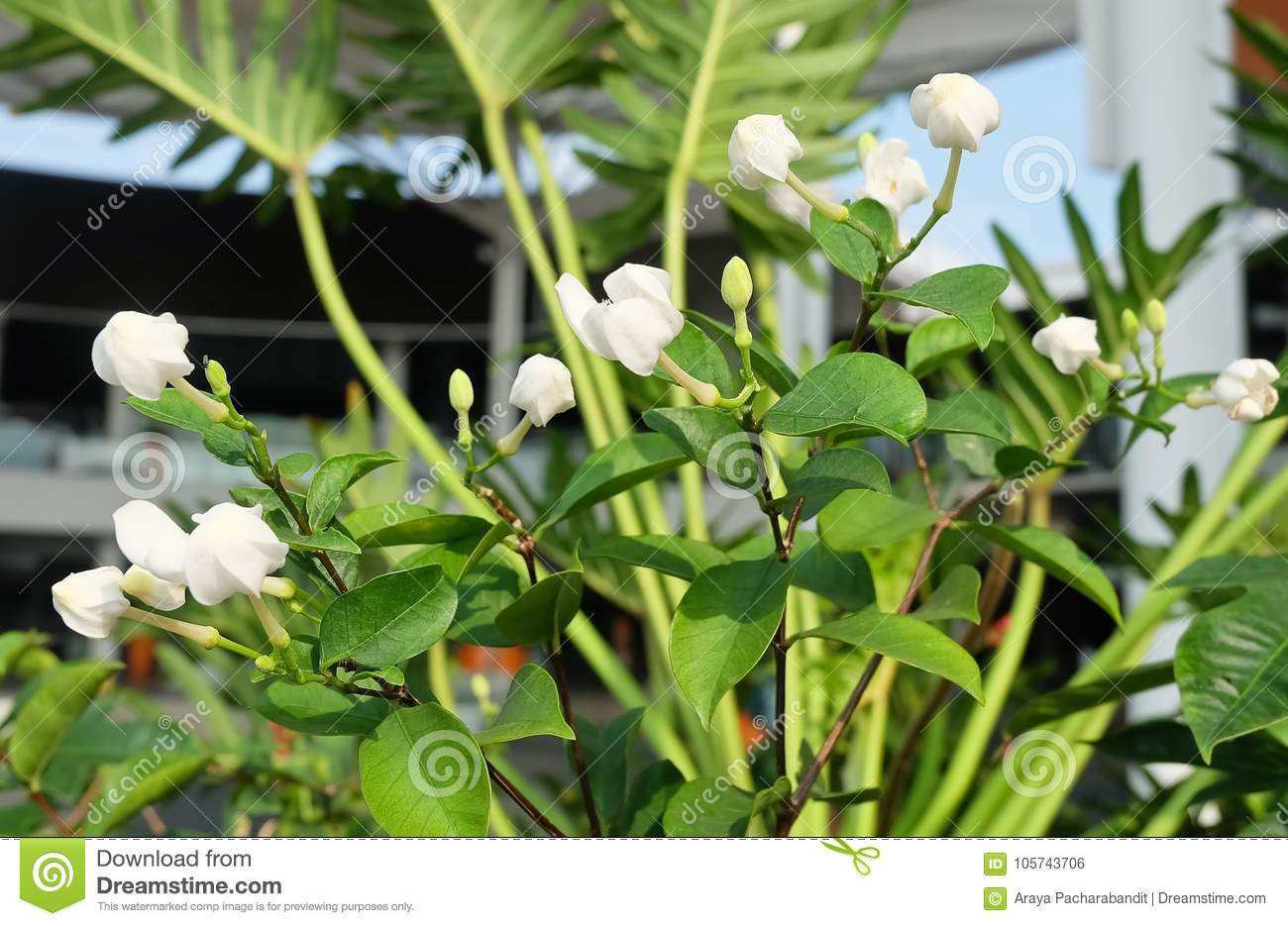 Beautiful White Cape Jasmine For Garden Decoration Stock Photo