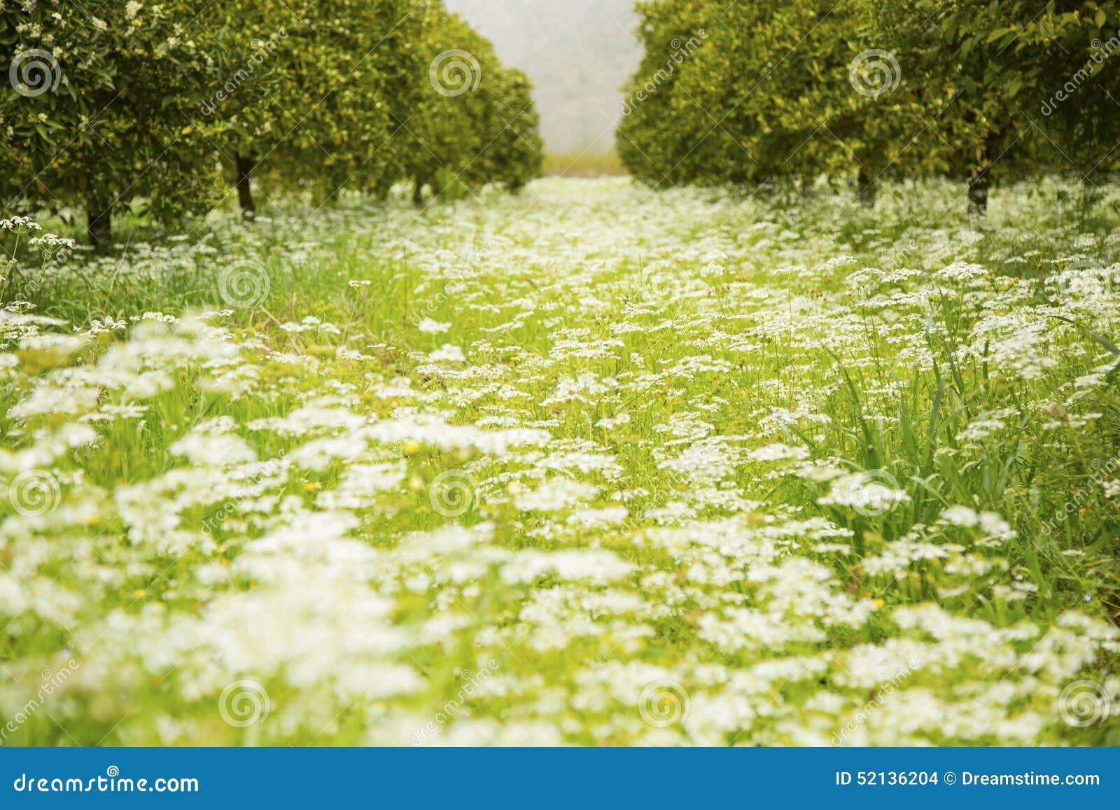 Beautiful flower meadow in springtime surrounded by orange trees beautiful flower meadow in springtime surrounded by orange trees izmirmasajfo