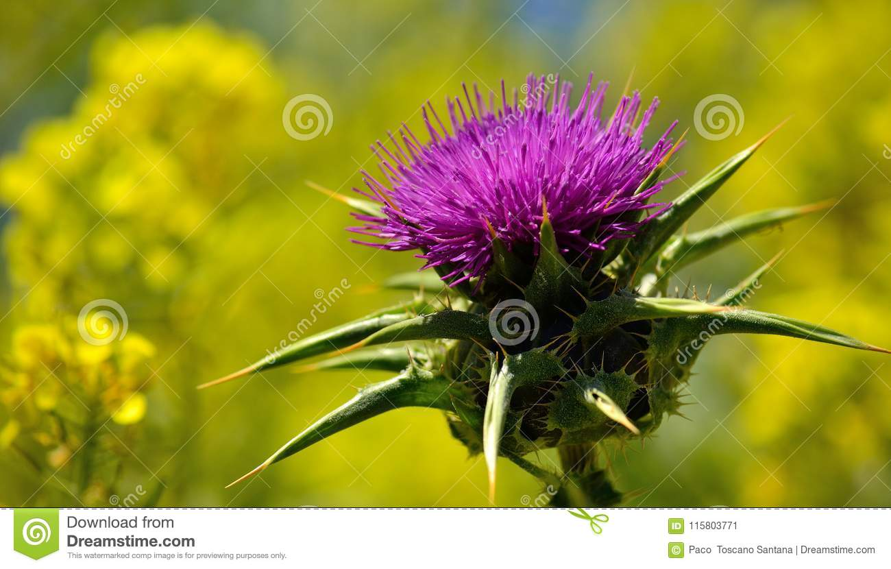 Flower Of Milk Thistle And Yellow Background Stock Image Image Of