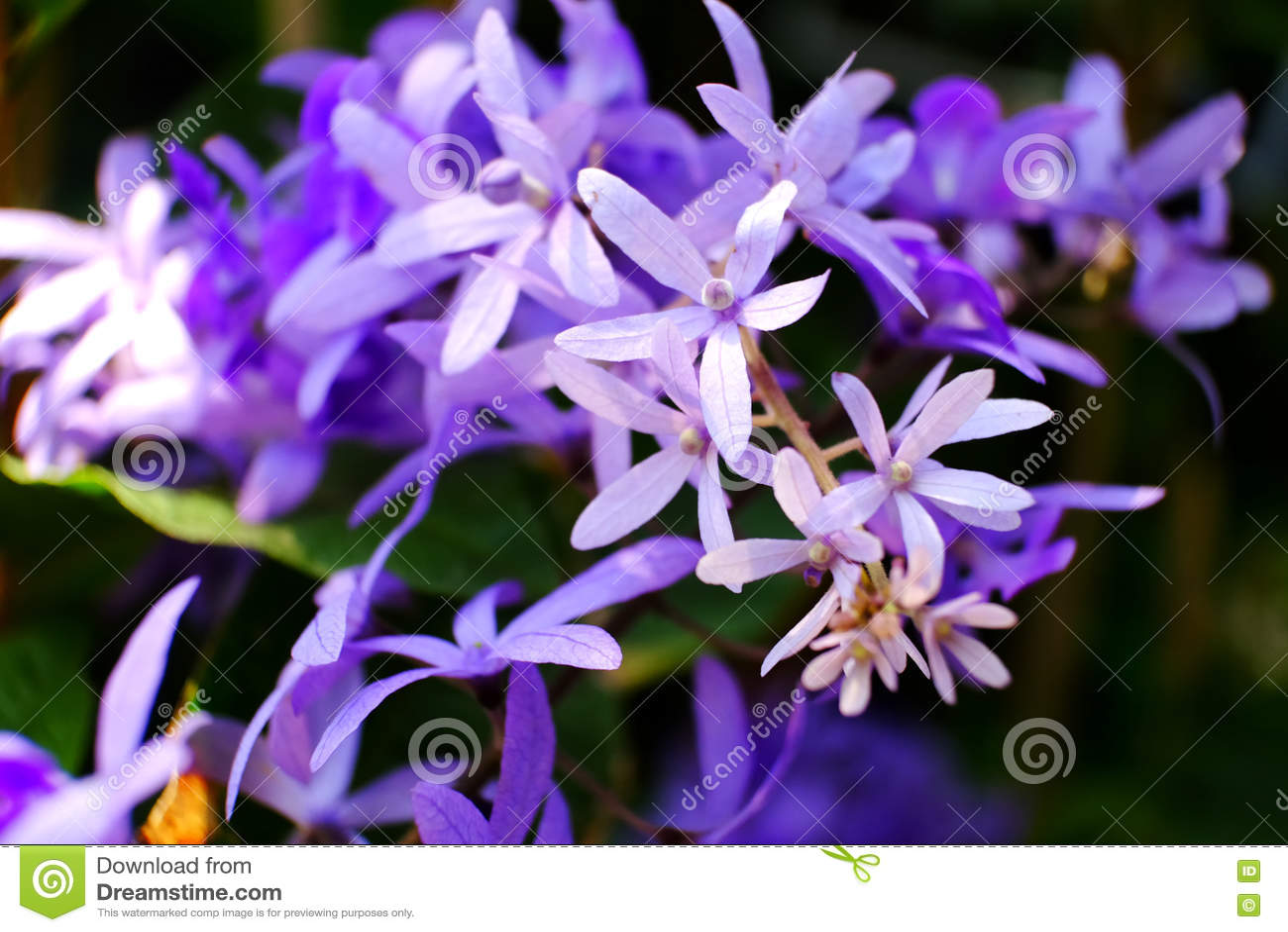 Beautiful Flower Name Is Sela Stock Photo Image Of Name Sela