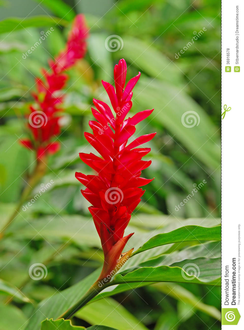 Beautiful flower of red ginger plant stock photo image of awapuhi download beautiful flower of red ginger plant stock photo image of awapuhi common izmirmasajfo