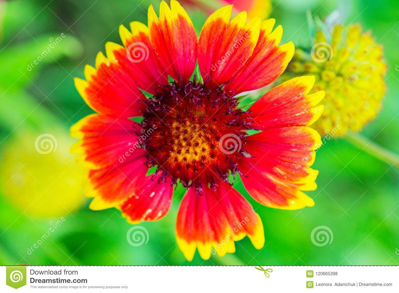 Beautiful flower with red petals and yellow tips photographed close download beautiful flower with red petals and yellow tips photographed close up stock photo mightylinksfo