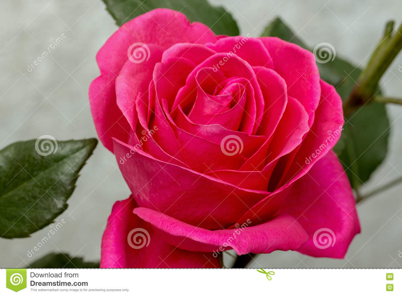 Beautiful flower red rose stock photo image of floral 71222116 download beautiful flower red rose stock photo image of floral 71222116 download comp izmirmasajfo
