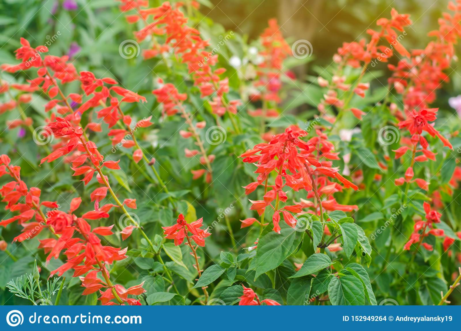 Beautiful Flower Red Salvia Grows In The Garden On A Sunny Day Gardening Planting Summer Flowers Natural Wallpaper Soft Stock Photo Image Of Fresh Herbal 152949264