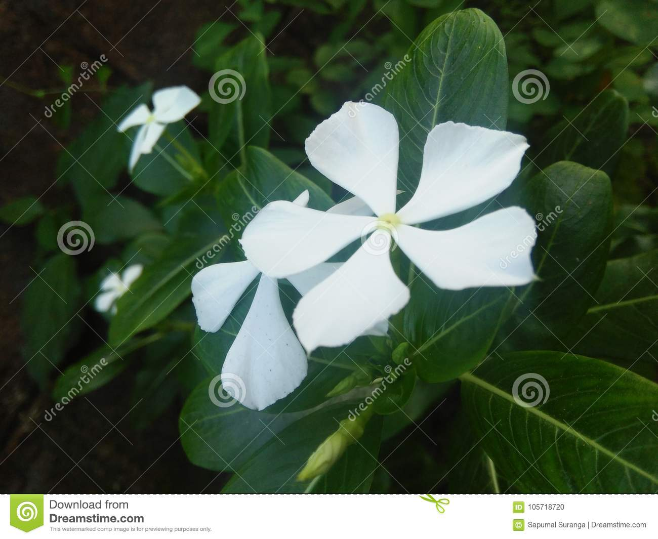 Beautiful flower of sri lanka photos stock photo image of flower royalty free stock photo izmirmasajfo