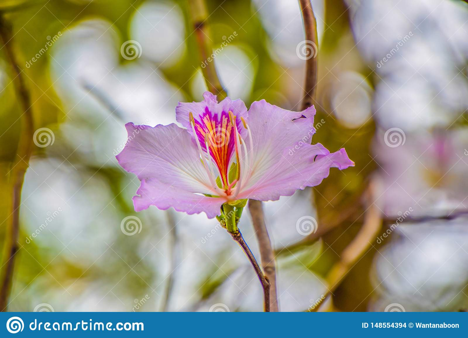 Beautiful flower on tree, Scientific name : Bauhinia variegata, Close up of purple flower on blurred nature background