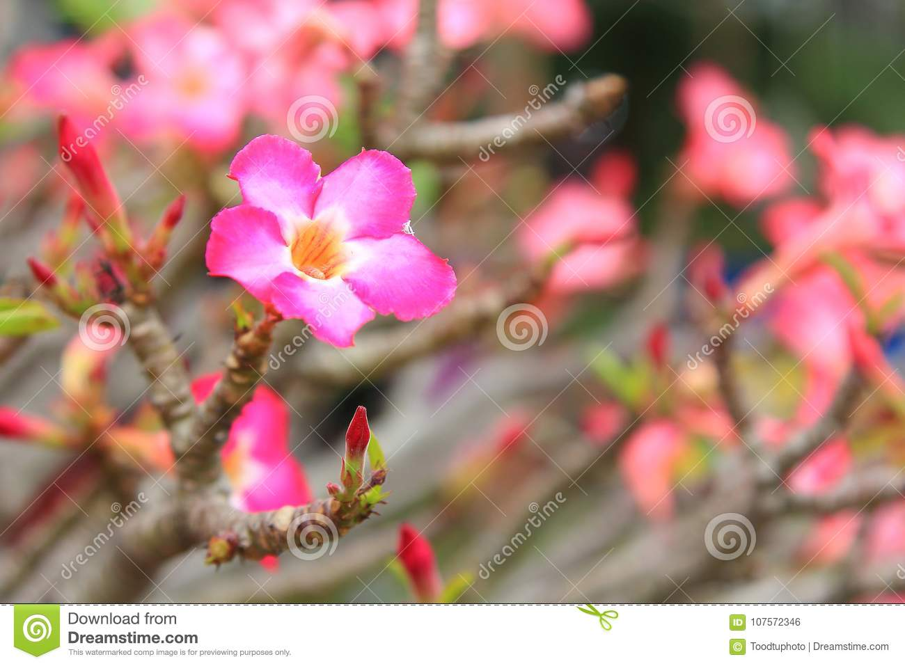 Beautiful flower for valentine festiveclose up many pink azalea download beautiful flower for valentine festiveclose up many pink azalea flowers blooming in the izmirmasajfo