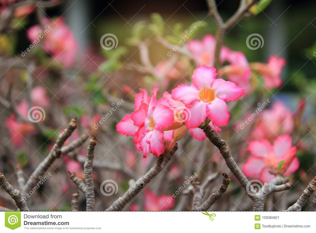 Beautiful Flower For Valentine Festiveclose Up Many Pink Azalea
