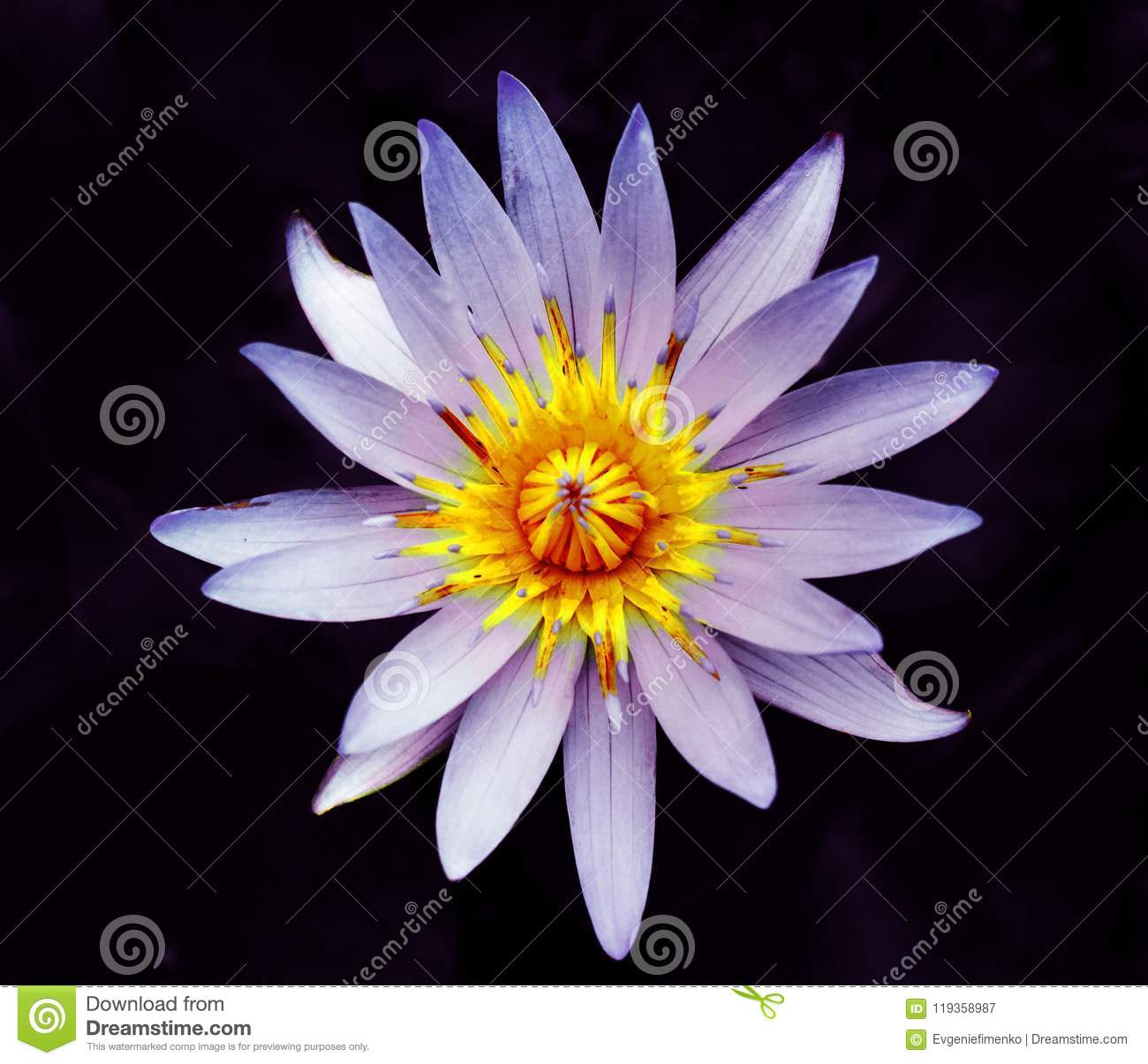 Beautiful flower of water lily