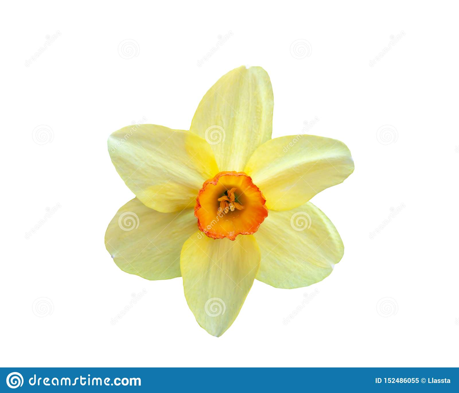 Beautiful flower yellow narcissus isolated on white background
