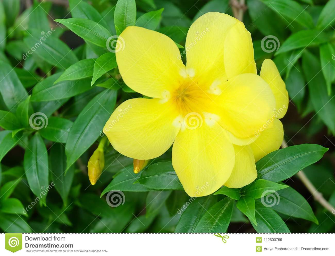 Yellow Sage Rose Flowers With Green Leaves Stock Image Image Of