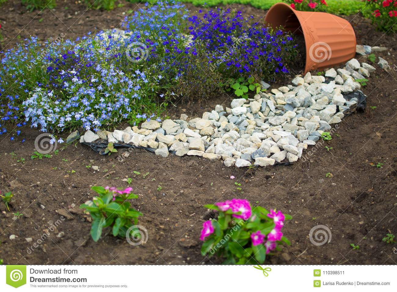 Beautiful Flowerbed With Flowers Blue Lithodora Diffusa Blooms