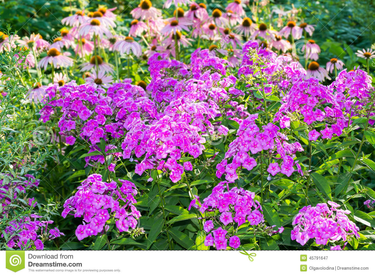 beautiful flowerbed with phlox and echinacea stock image image 45791647. Black Bedroom Furniture Sets. Home Design Ideas