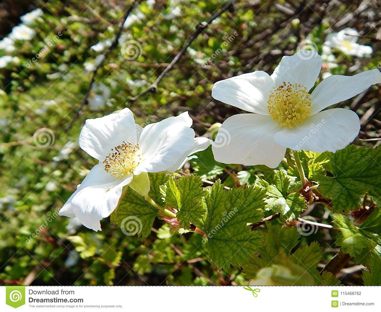 Beautiful Flowering Bush Branch With White Flowers Stock Photo
