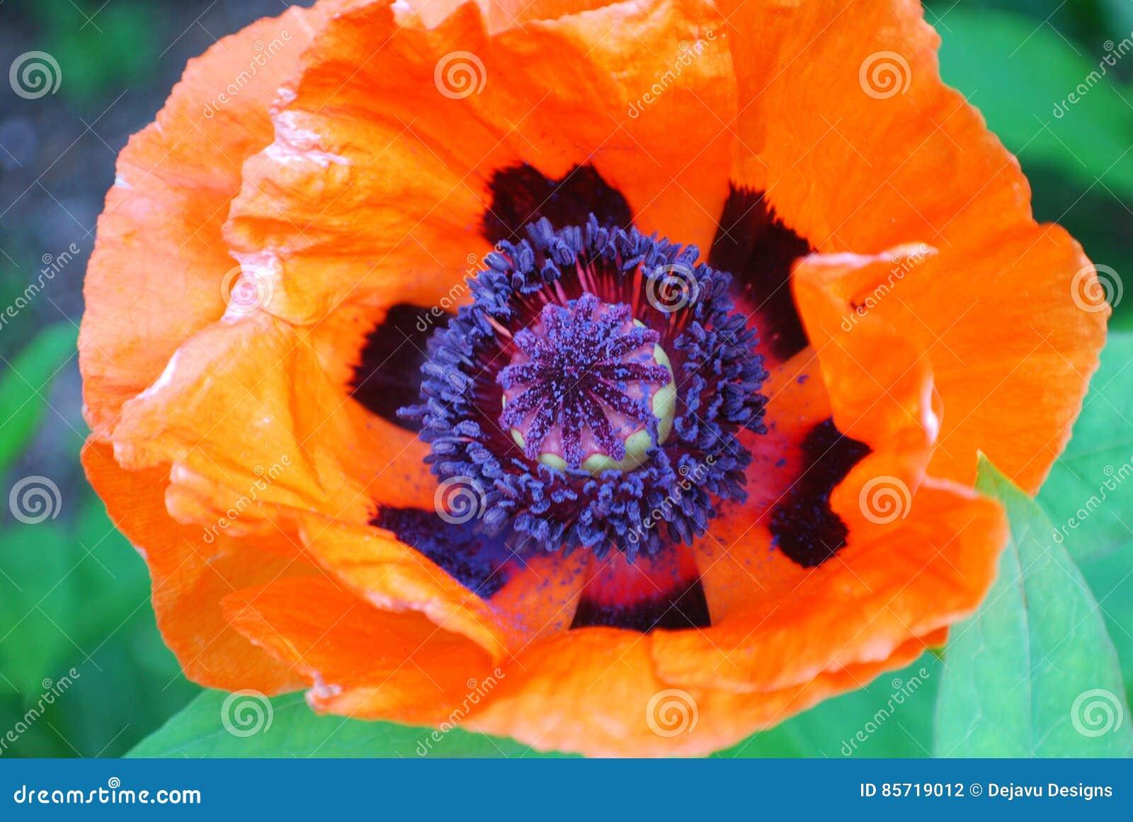 Beautiful Flowering Oriental Poppy Flower Blossom Stock Photo