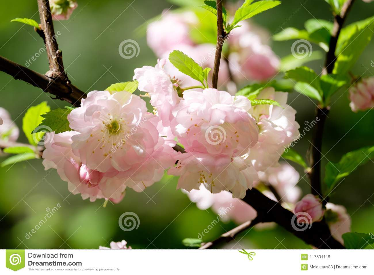 Beautiful Flowers Of Almonds Stock Image Image Of Bokeh Photo