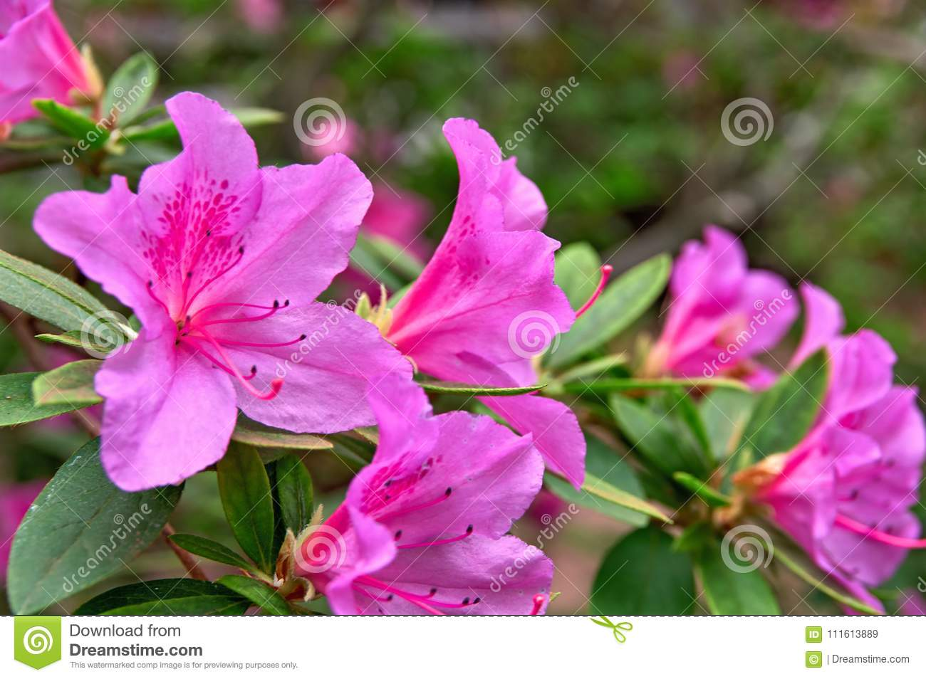 Spring Bloom Pink Azalea Flowers In Spring Garden Beautiful Potted