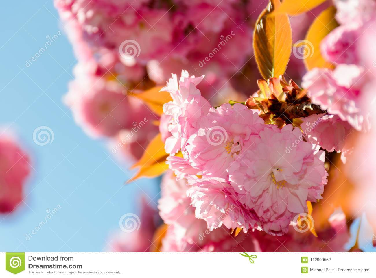 Beautiful flowers of cherry blossom on a sunny day