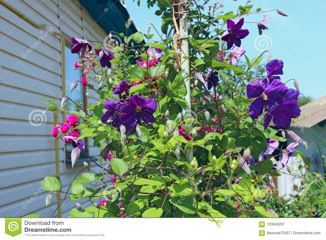 Beautiful Flowers Of Clematis Blossom Near House Stock Image
