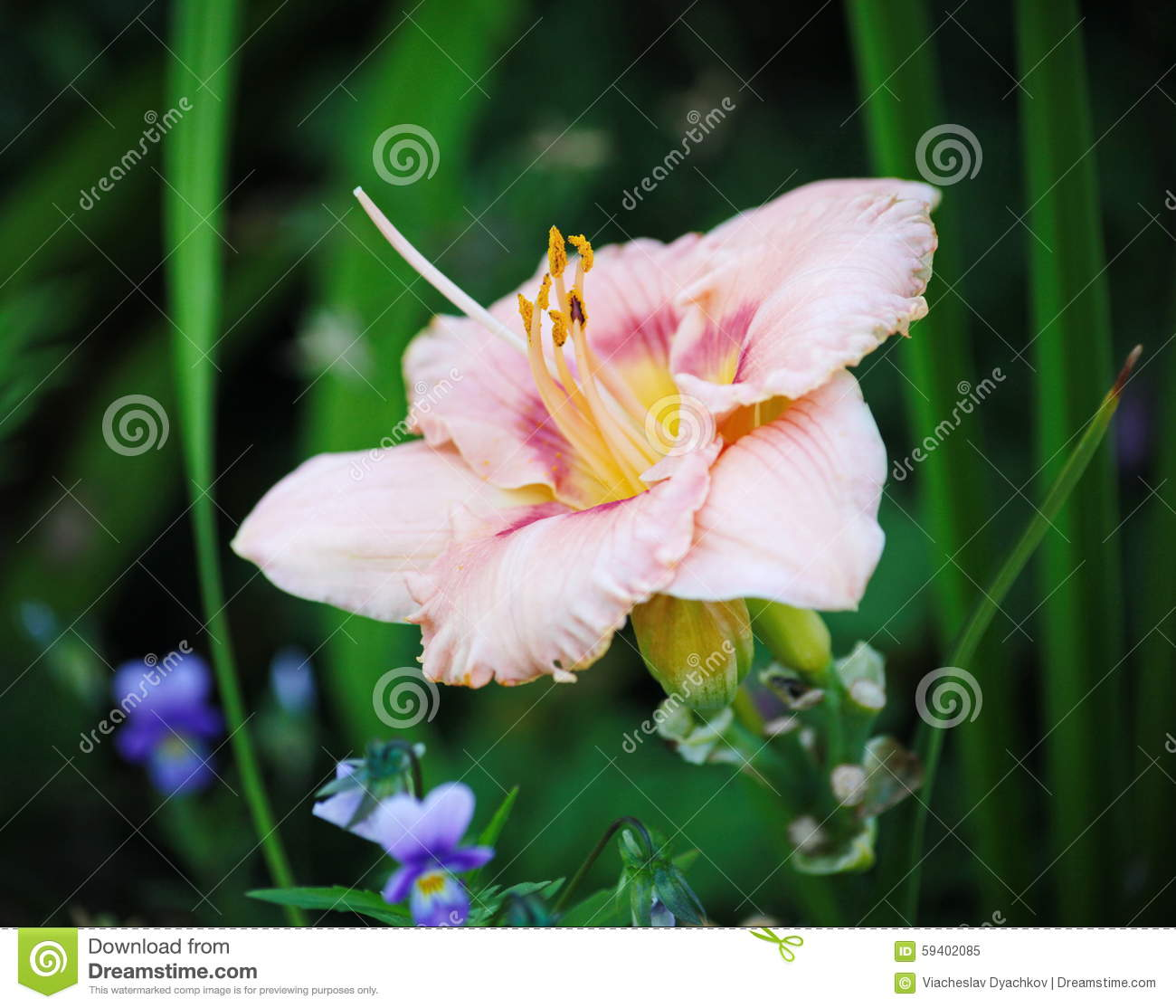 Beautiful flowers cultivated in european gardens blooming pink day download beautiful flowers cultivated in european gardens blooming pink day lily lily izmirmasajfo
