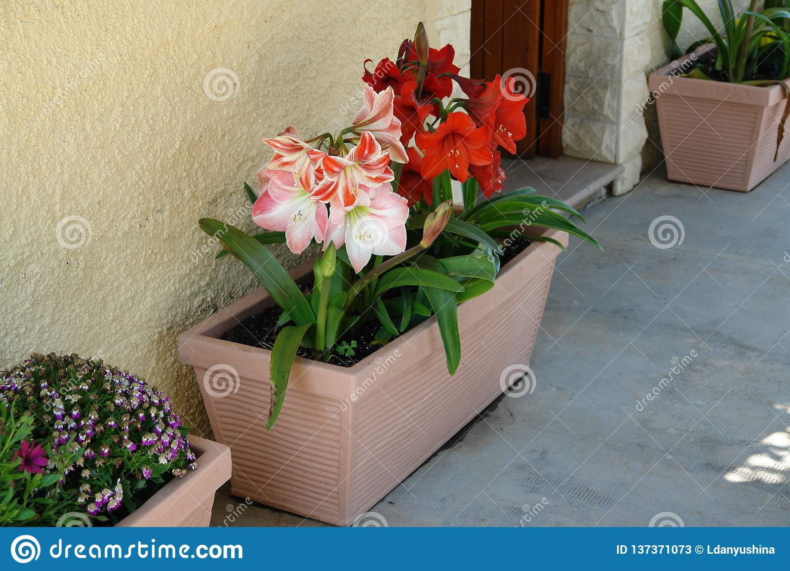 Dreamstime.com & Beautiful Flowers In Flower Pots. Summer Flowers Outside Stock ...