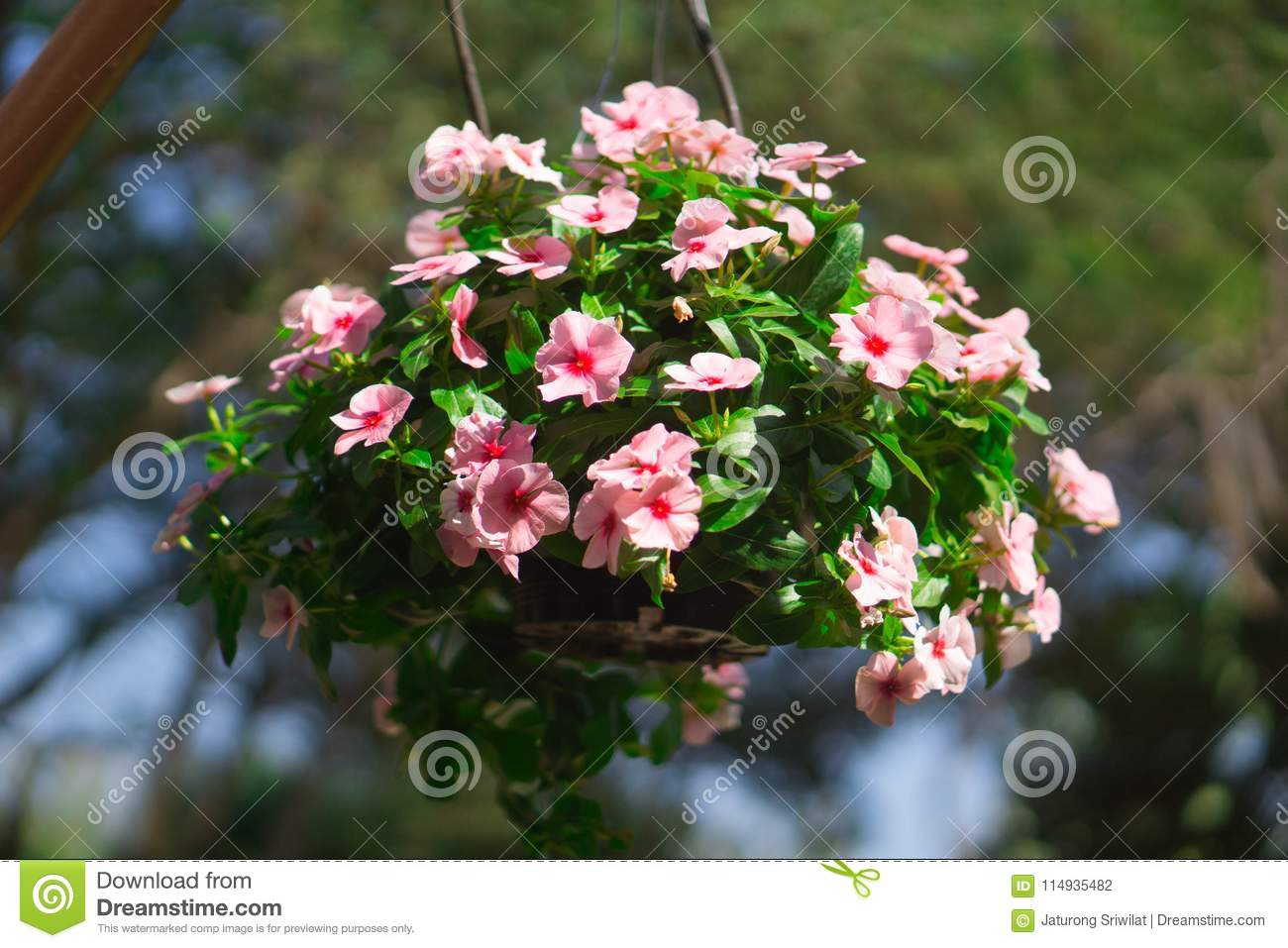 Beautiful Flowers In Hanging Flower Pots Stock Photo Image Of