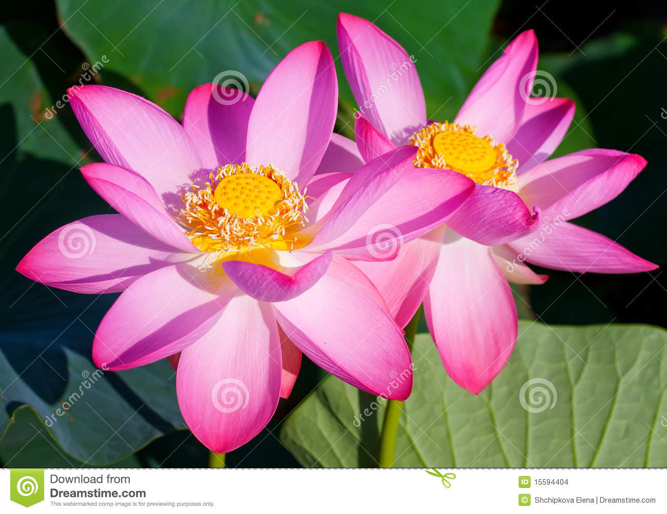 Beautiful Flowers Of A Lotus Stock Photo Image Of Lotus Floral
