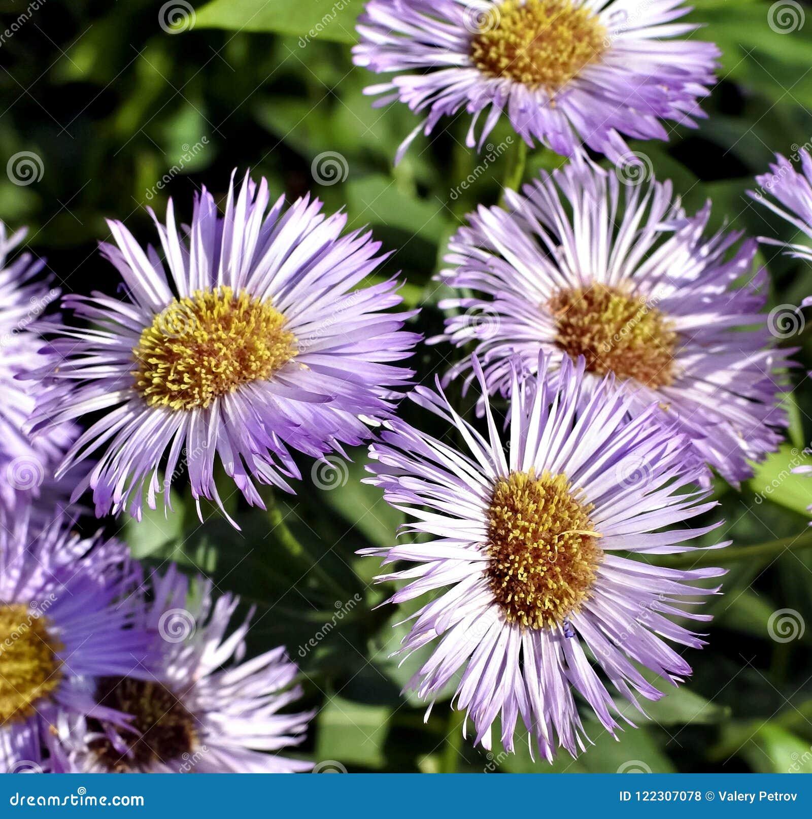 Beautiful Flowers Melkolepestnik Stock Photo Image Of Season